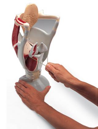 3b-w42503--1005528--functional-larynx-model--4-times-full-size
