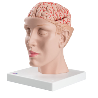 C25_01_1200_1200_Brain-with-Arteries-on-Base-of-Head-8-part