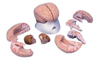 3B Scientific Brain Model, 8 part