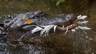 Dinets-et-al-2013-American-alligator-grabs-egret-600-px-tiny-Nov-2013-Darren-Naish-Tetrapod-Zoology