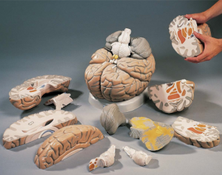 3B Scientific VH409 Giant Brain Model