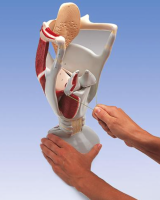 Functional Larynx Model, 4 times full-size
