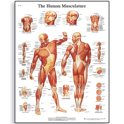 VR1118L_01_Human-Muscle-Chart
