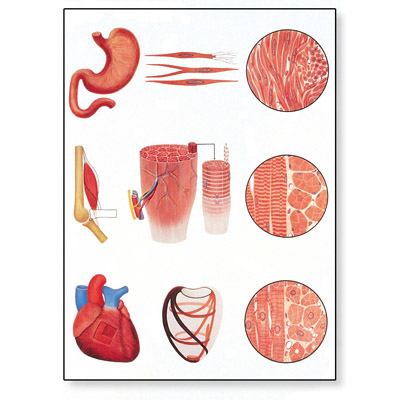 V2052M_01_Muscle-Tissue-Chart