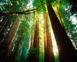 Cbp0002586-california-redwoods-optimized
