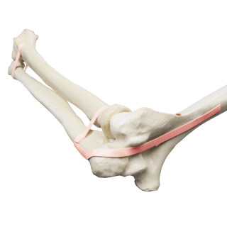 W19141_01_1200_1200_ORTHObones-Premium-Elbow-Ulna-radius-humerus-latex-band