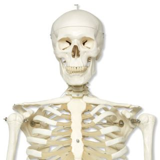 A10_01_Human-Skeleton-Model-Stan-on-pelvic-mounted-5-foot-roller-stand