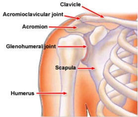 Shoulderanatomy