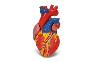 3B Scientific Heart Model
